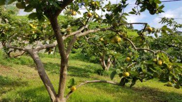 【横浜で秋の味覚狩り2020】浜なしで有名な平戸果樹の里で栗拾い